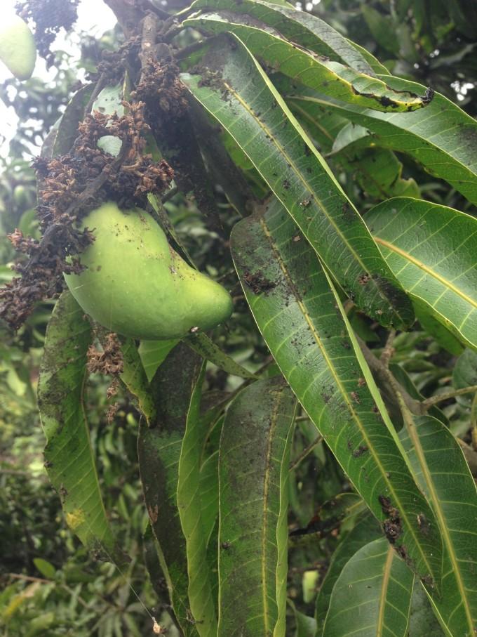 一路上有很多橡胶树,芒果树椰子树,唯独感兴趣的就是那些芒果树,我对