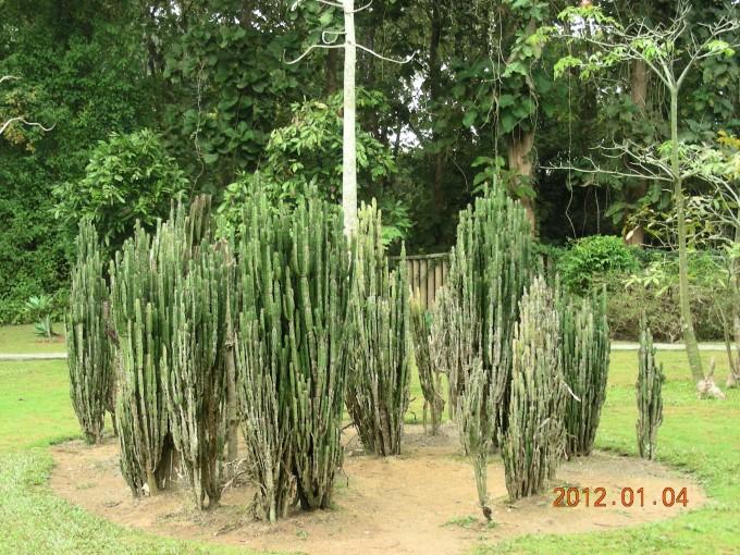 4号早7点多到西版纳热带植物园  酒瓶棕  像炮弹吧     好大的棕树