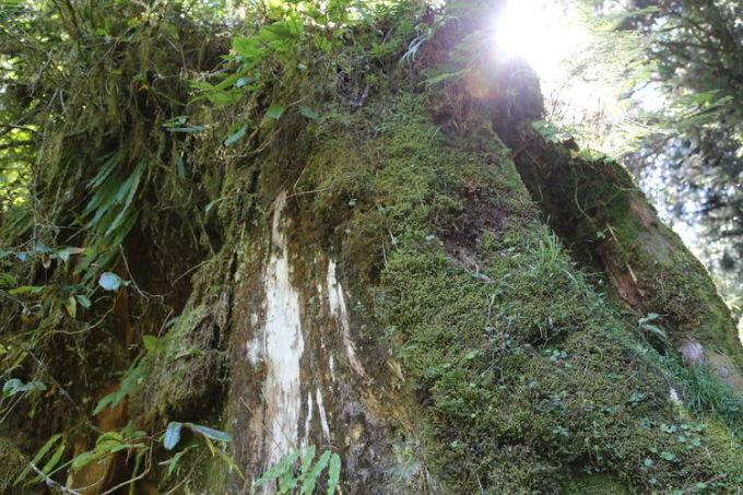 哭泣的桧树根:红桧为台湾特有树种,常与台湾扁柏形成混交林,分布于